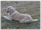 """Daisy"" English Cream Golden Retriever Breeder - Pelham, NH"