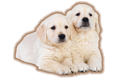 English Cream Golden Retriever Puppies Breeder - Pelham, NH