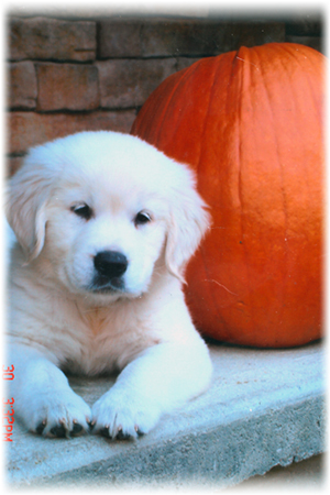 Puppies English Cream Golden Retriever Breeder Pelham Nh